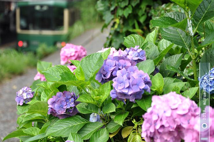 テマリ咲きアジサイ 鎌倉市・極楽寺 2010/07/01
