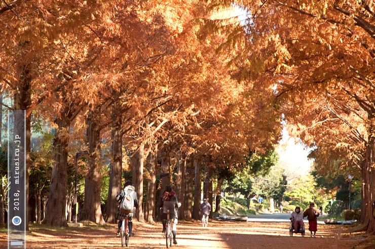 メタセコイアの紅葉 平塚市総合公園 2014/12/02
