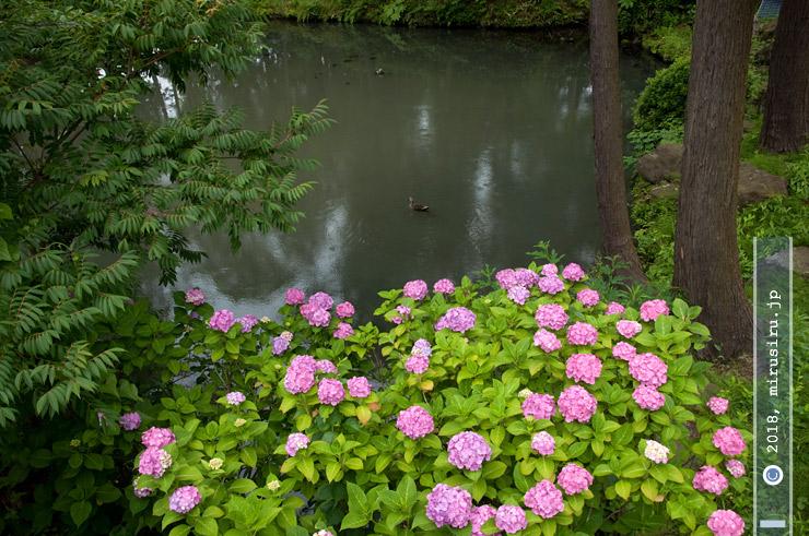 テマリ咲きアジサイ 鎌倉市・円覚寺白鷺池 2016/06/12