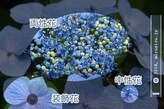 ガクアジサイの花の構造 川崎市麻生区・浄慶寺 2016/06/20