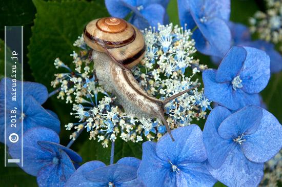ガクアジサイの花にカタツムリ