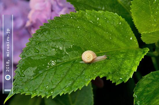 アジサイの葉にカタツムリ