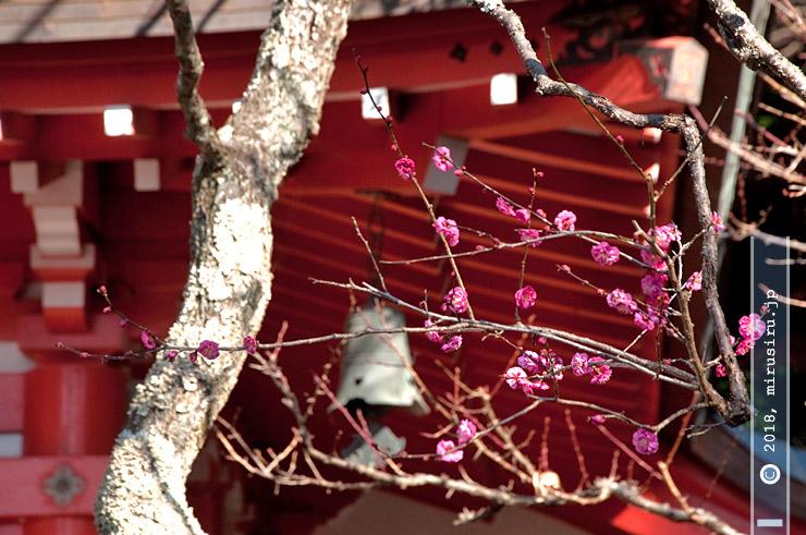 ウメ(寒紅梅) 荏柄天神社 2017/01/07
