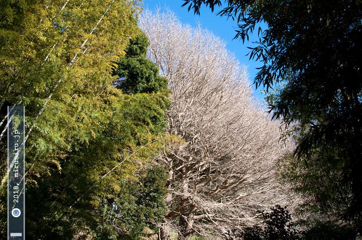鎌倉市・浄妙寺のイチョウ 2017/02/03
