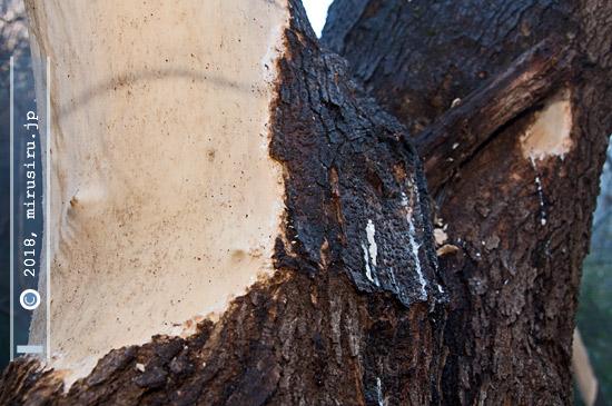 タイワンリスによる樹皮剥ぎ、樹液舐めたか 2017/02/06 横浜自然観察の森