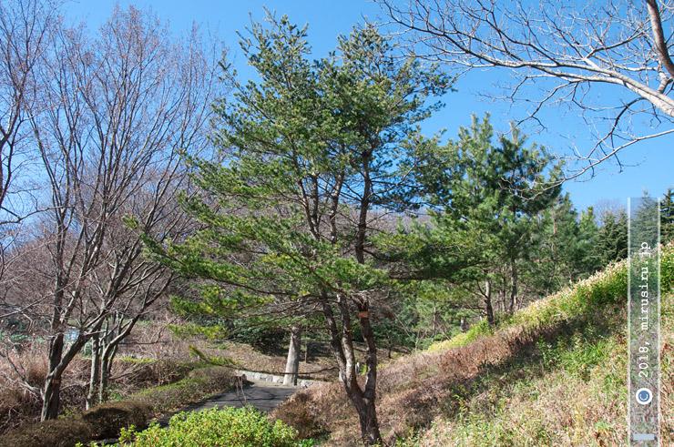 ゴヨウマツ 横浜市金沢区・金沢自然公園 2017/02/06