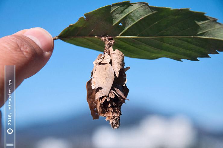 オオミノガの幼虫(ミノムシ)、中身は空っぽ 平塚市南金目 2017/02/13