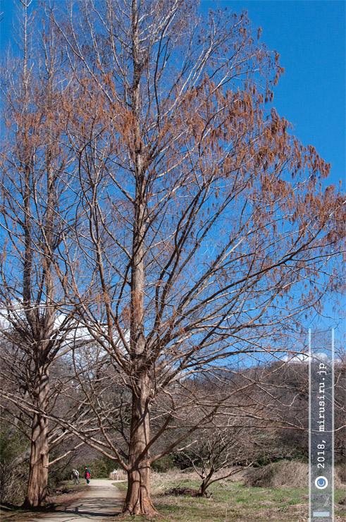 花期のメタセコイア 鎌倉広町緑地 2017/02/25