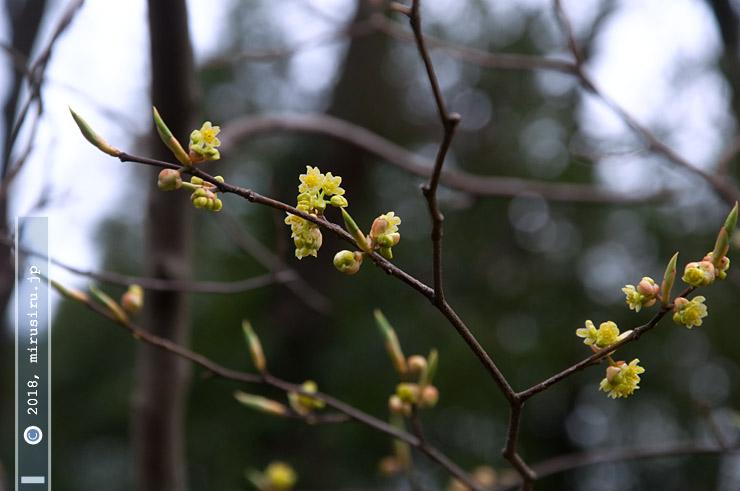 シロモジ 横浜市金沢区・金沢自然公園 2017/03/22
