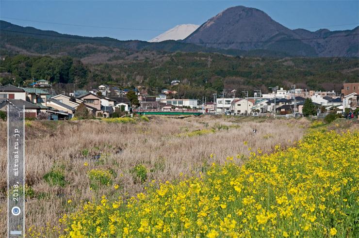 ナノハナ(セイヨウアブラナか)の群生、矢倉岳と富士山を背景に 南足柄市・狩川 2016/03/25