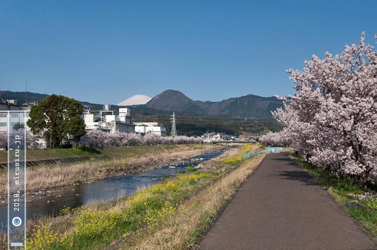 ハルメキザクラ、矢倉岳と富士山を背景に 南足柄市・狩川 2016/03/25