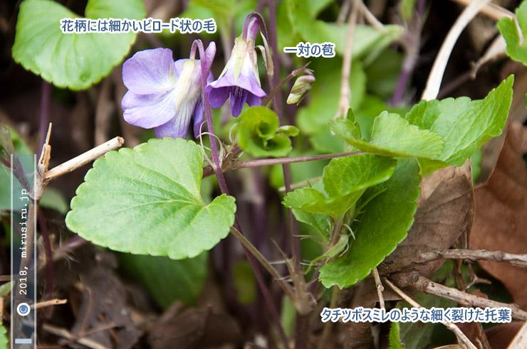ニオイタチツボスミレ 藤沢市・川名清水谷戸 2017/04/02