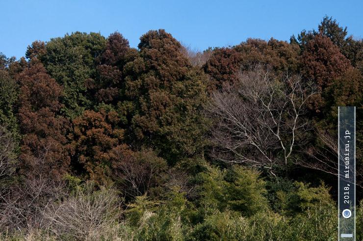スギ(赤茶色を帯びた樹木) 茅ケ崎里山公園 2018/02/17