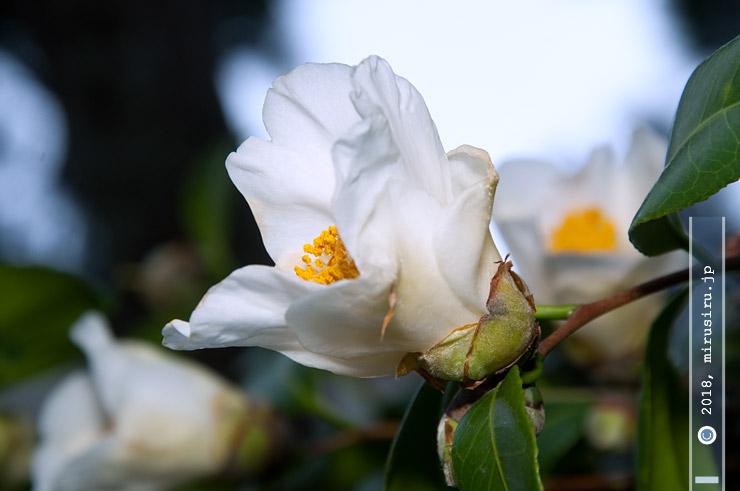 ツバキ('細雪') 茅ヶ崎市・氷室椿庭園 2018/03/07