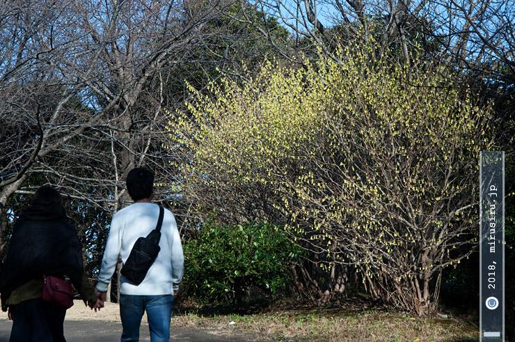 トサミズキ 横須賀市・くりはま花の国 2018/03/11