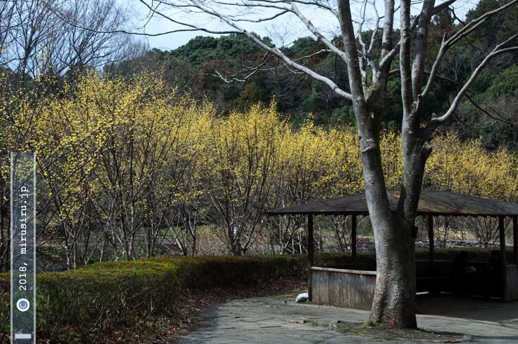サンシュユ 横浜市緑区・四季の森公園 2018/03/15
