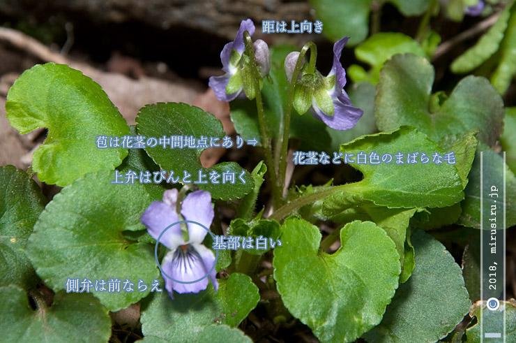 アオイスミレの特徴 横浜市緑区・四季の森公園 2018/03/15