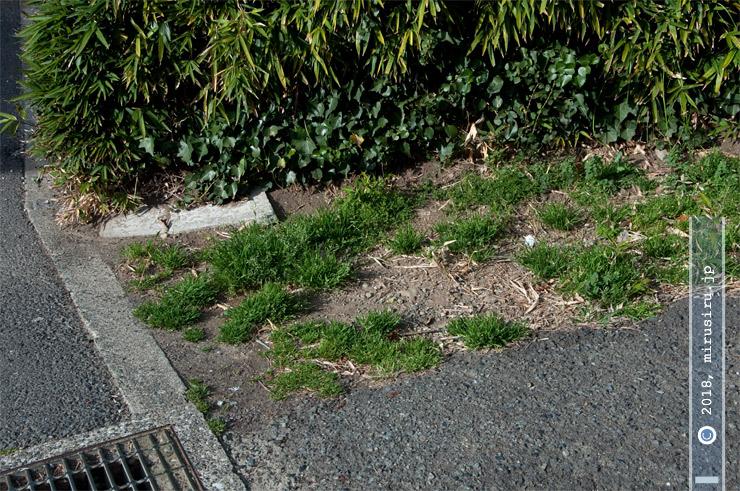 道端に雑草として繁茂するスズメノカタビラ 葉山町長柄 2018/03/18