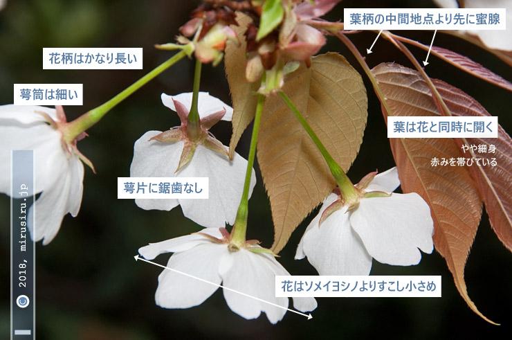 ヤマザクラの特徴 茅ヶ崎市・中央公園 2018/03/27