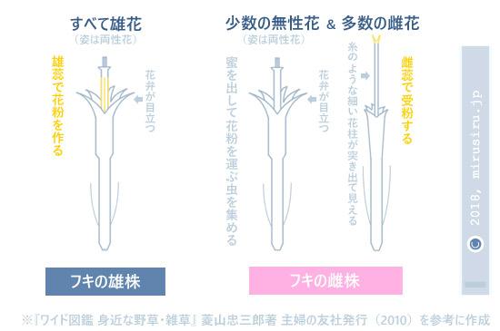 フキの雄株と雌株の花の構造