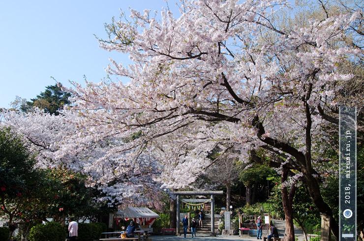 ソメイヨシノ 鎌倉市・葛原岡神社 2017/04/14