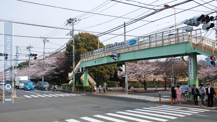 ソメイヨシノ 茅ヶ崎市・中央公園 2018/03/27