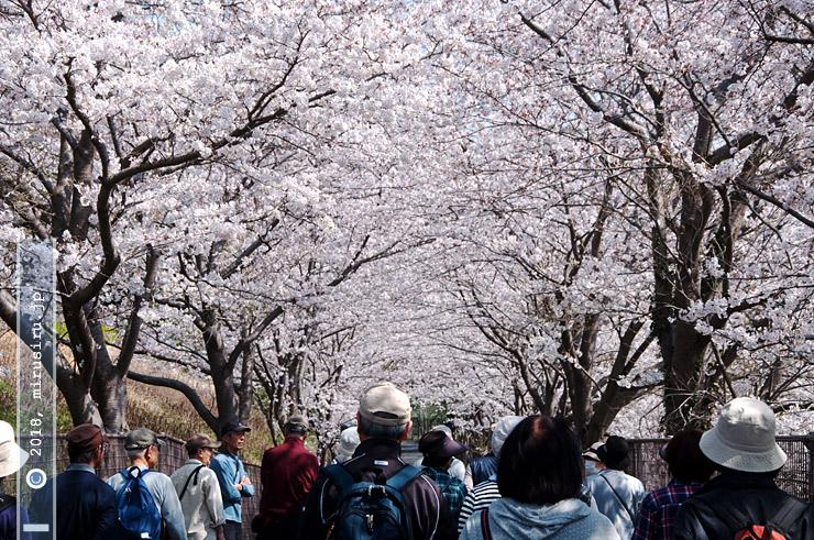 ソメイヨシノ 茅ヶ崎市・文教大学 2018/03/28