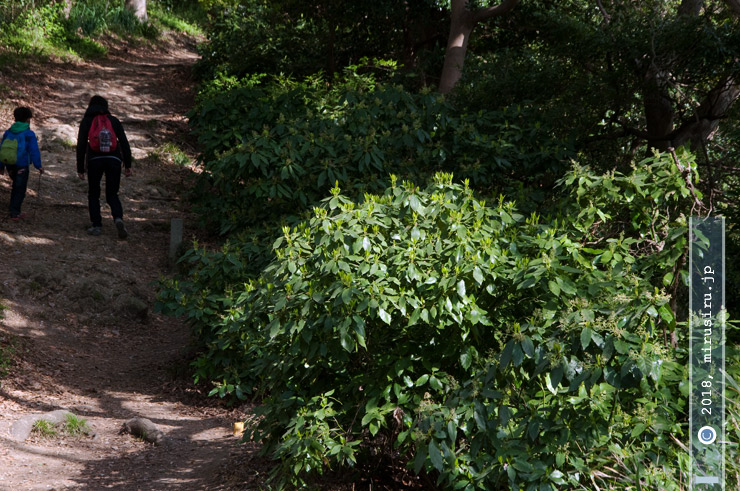 ハイキングコース沿いに繁り放題のアオキ 大磯町・高麗山公園 2018/03/31