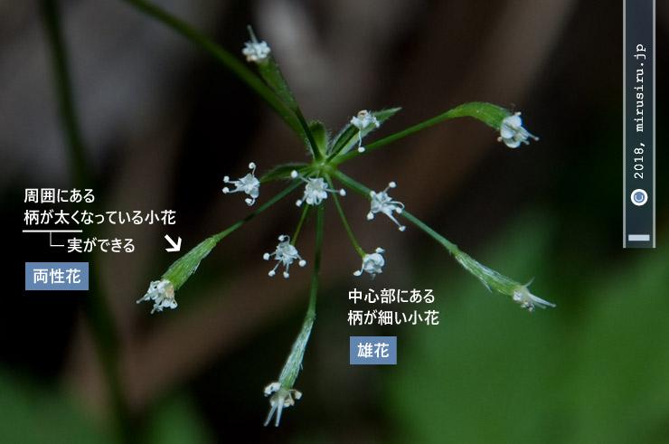 ヤブニンジン 大磯町・高麗山公園 2018/03/31