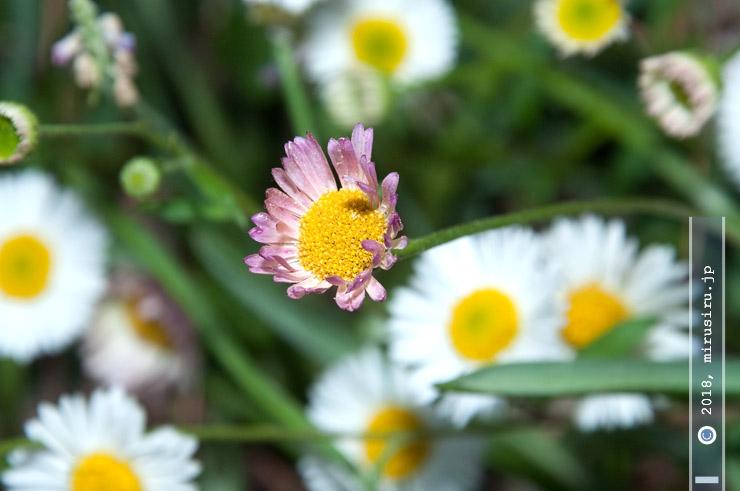 ペラペラヨメナ(ゲンペイコギク)の咲き終わり 茅ヶ崎市・氷室椿庭園 2018/04/14