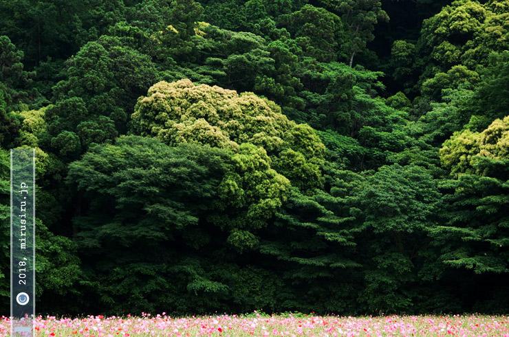 マテバシイと思われるもの(黄緑色)、下方の花はシャーレーポピー 横須賀市・くりはま花の国 2016/06/04