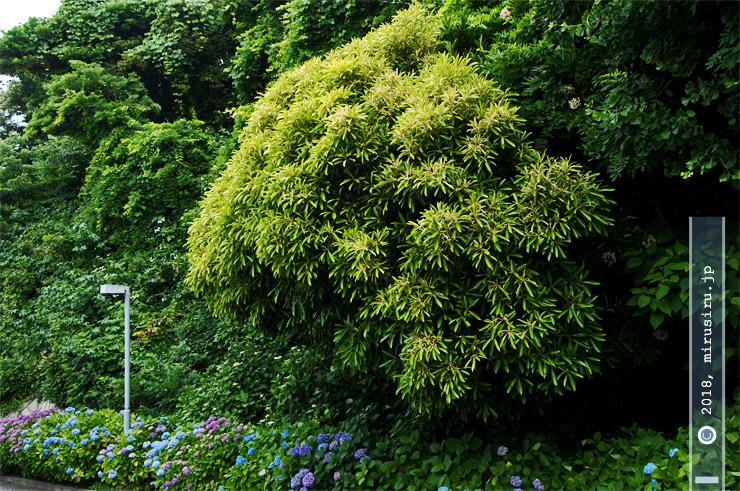 マテバシイ 横須賀美術館 2017/06/06