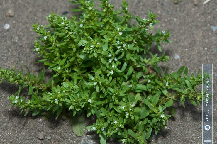 ムシクサの大きく成長した株、周囲に徒長しかけの茎が出始めている 茅ヶ崎市東海岸南 2018/04/14