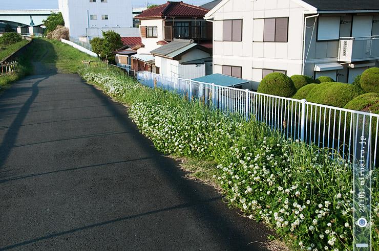 シロツメクサ 寒川町一之宮・目久尻川沿い 2018/04/28