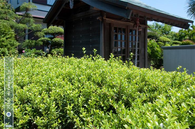イヌツゲの新緑 茅ヶ崎市萩園・八幡神社 2018/05/05