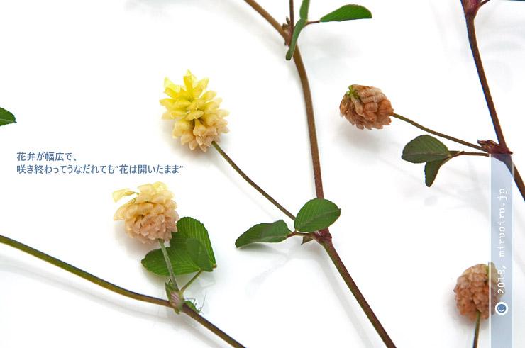 クスダマツメクサの咲き終わり 茅ケ崎里山公園 2018/05/13