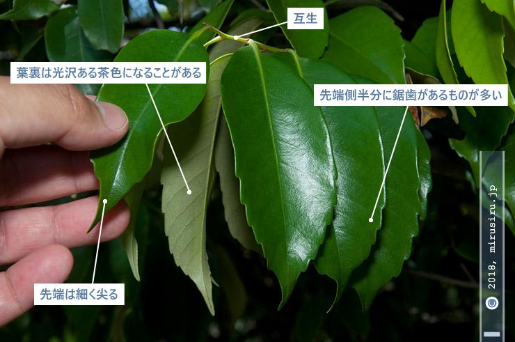 スダジイの葉の特徴 藤沢市・長久保公園 2018/05/14