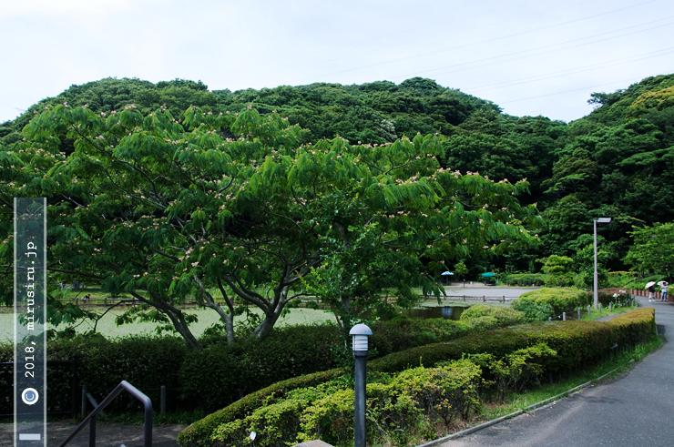 ネムノキ 横須賀市・光の丘水辺公園 2017/06/24