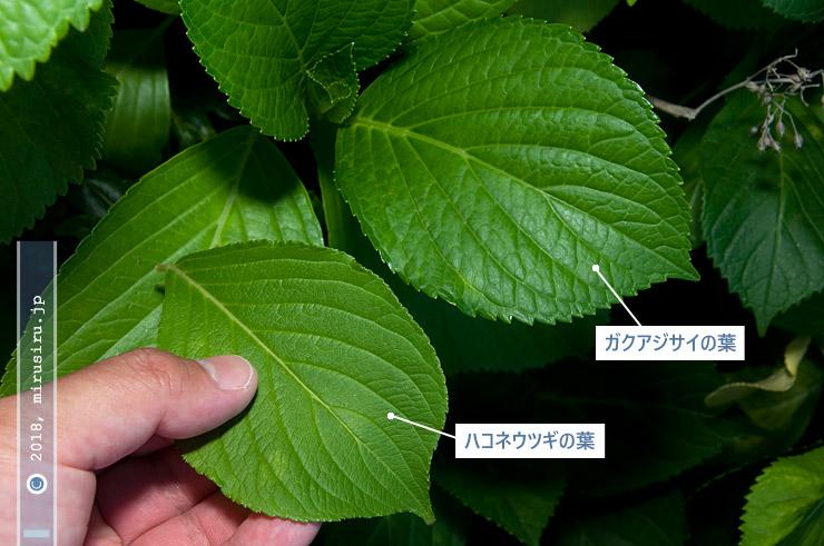 ハコネウツギの葉とガクアジサイの葉の比較 2018/06/04