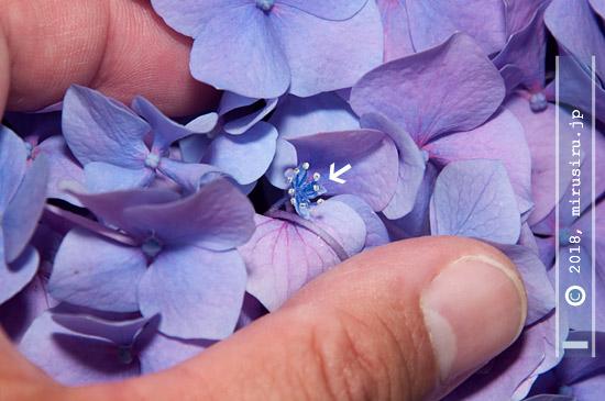 テマリ咲きアジサイにある両性花(真花)