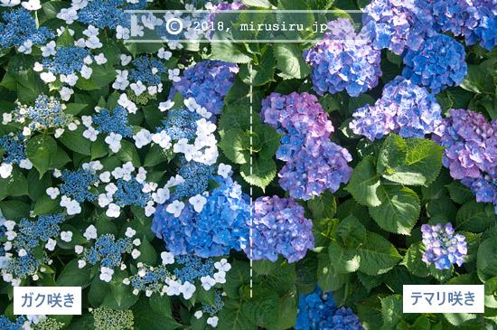 ガク咲きとテマリ咲き
