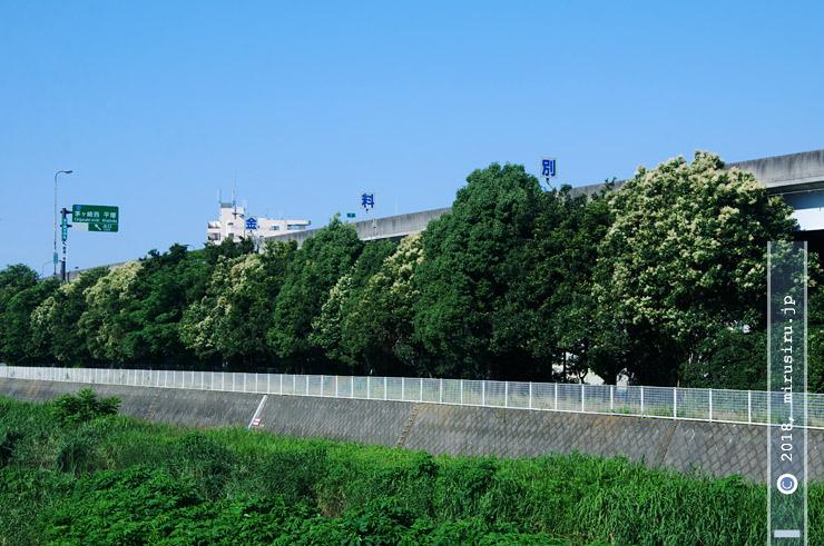 トウネズミモチ(白っぽく花咲いているもの) 茅ヶ崎市今宿・新湘南バイパス 2018/06/25
