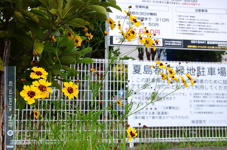 ハルシャギク 横須賀市・リサイクルプラザアイクル周辺 2017/06/09