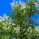 シマトネリコの花に見えるがおそらく蕾 藤沢市辻堂神台 2018/06/26