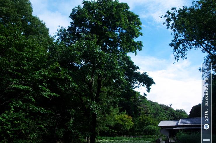 ハンノキ(写真中央) 鎌倉中央公園 2018/07/08