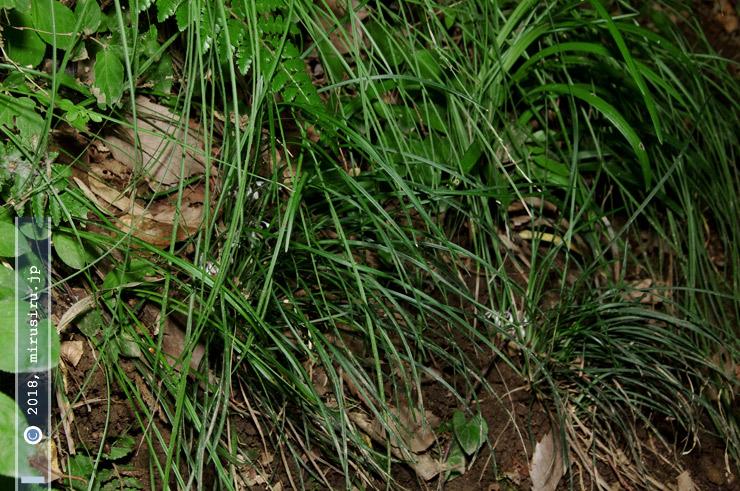 丘陵地斜面に生えたあまり大きく生育はしていないナガバジャノヒゲ 鎌倉中央公園 2018/07/08