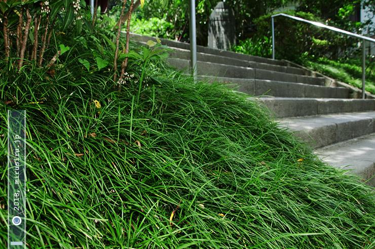ナガバジャノヒゲの密生、左上に見える白っぽい小花はマンリョウのもの 鎌倉市・光則寺 2018/07/08