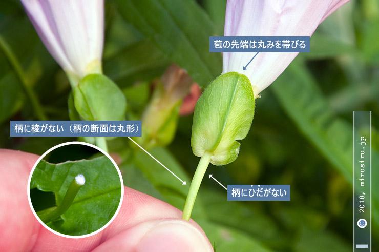 ヒルガオの花の特徴 茅ヶ崎市西久保・小出川 2018/07/18