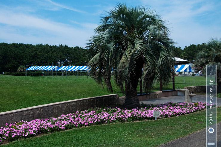 ニチニチソウ 藤沢市・辻堂海浜公園 2018/07/19