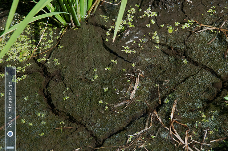 イネの中干しが終わって水が引き入れられた田んぼ 茅ヶ崎市・タゲリ米の里 2018/07/20